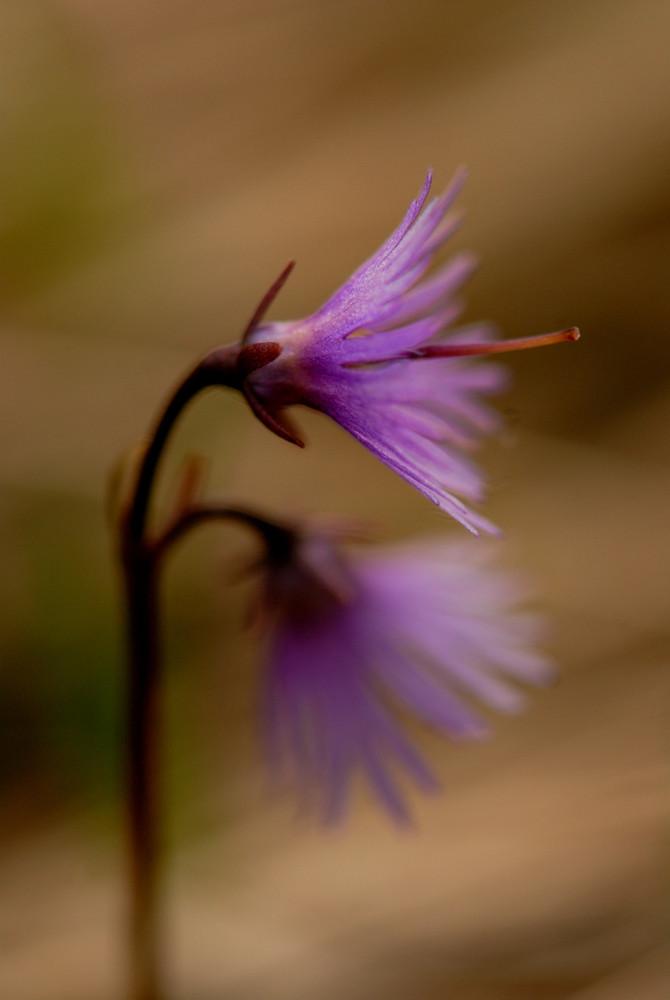 Primulacea - Soldanella alpina 2