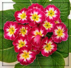 *Primulaceae*