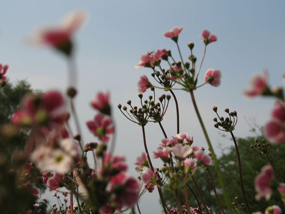Primulaceae Androsace Spinulifera