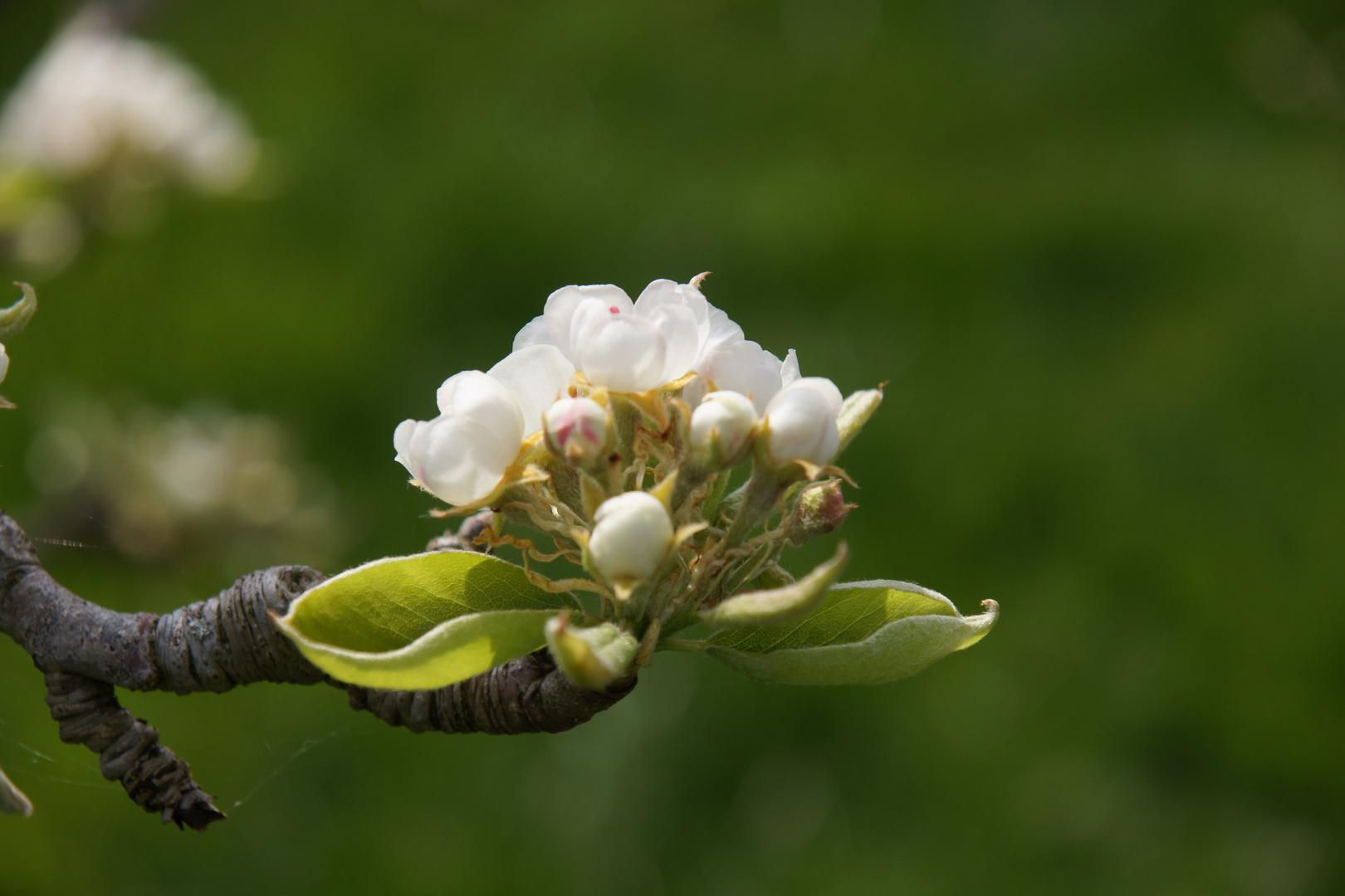 printemps du poirier