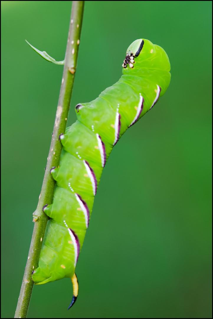Privet Hawk Moth (Sphinx ligustri) - caterpillar