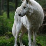 pro canis lupus