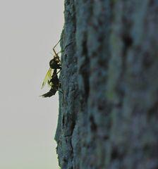 Profil-Käfer