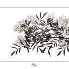 Profumo di fiori di sambuco