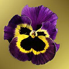 Projekt Nikole lila
