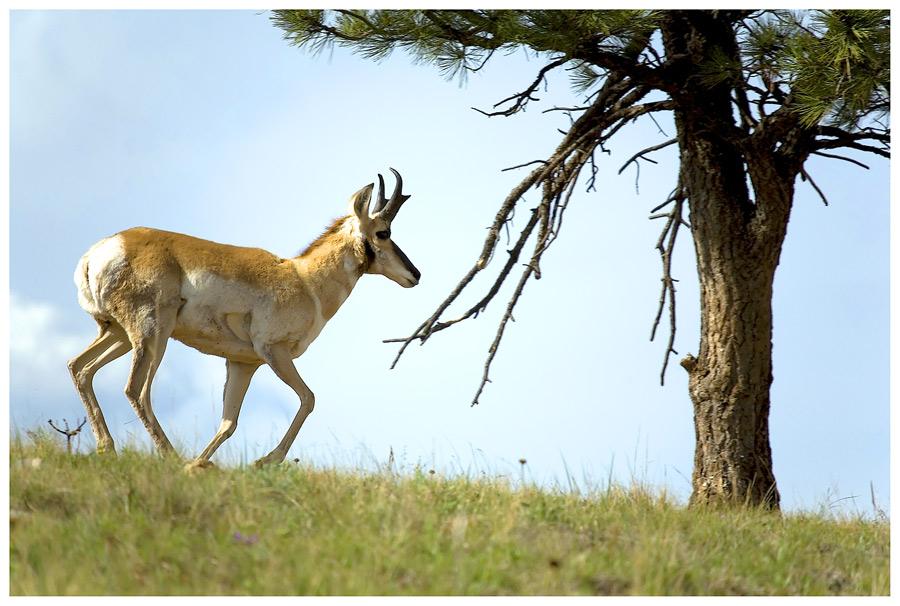 Pronghorn Antelope, oder ....