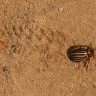 ''Propaganda-Spionage-Käfer'' (Leptinotarsa decemlineata)