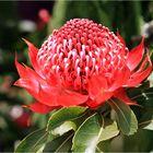 Protea, eine königliche Blüte