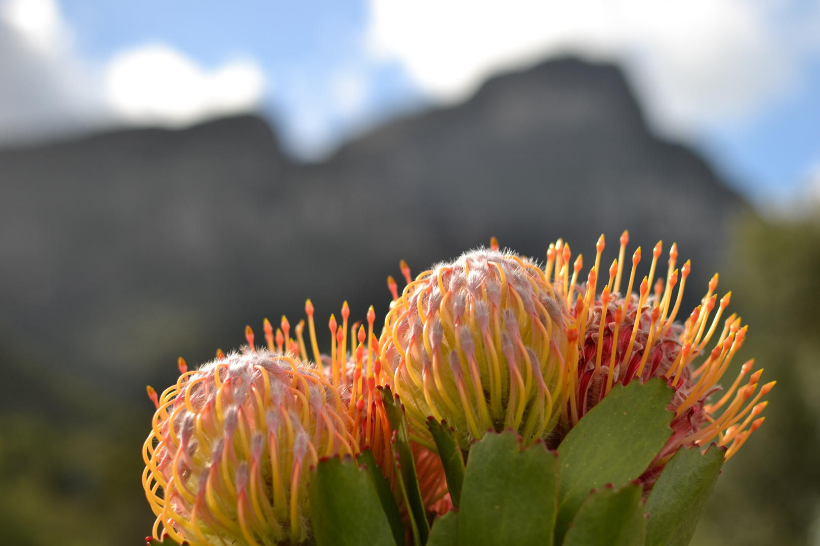 Protea flowers in late spring, Cape Town