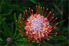 Protea Red Pin Cushion