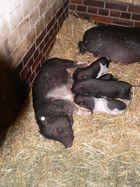 Protestschwein