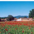 Provence & coquelicots