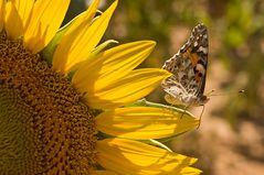 Provence - Detail im Sonnenblumenfeld