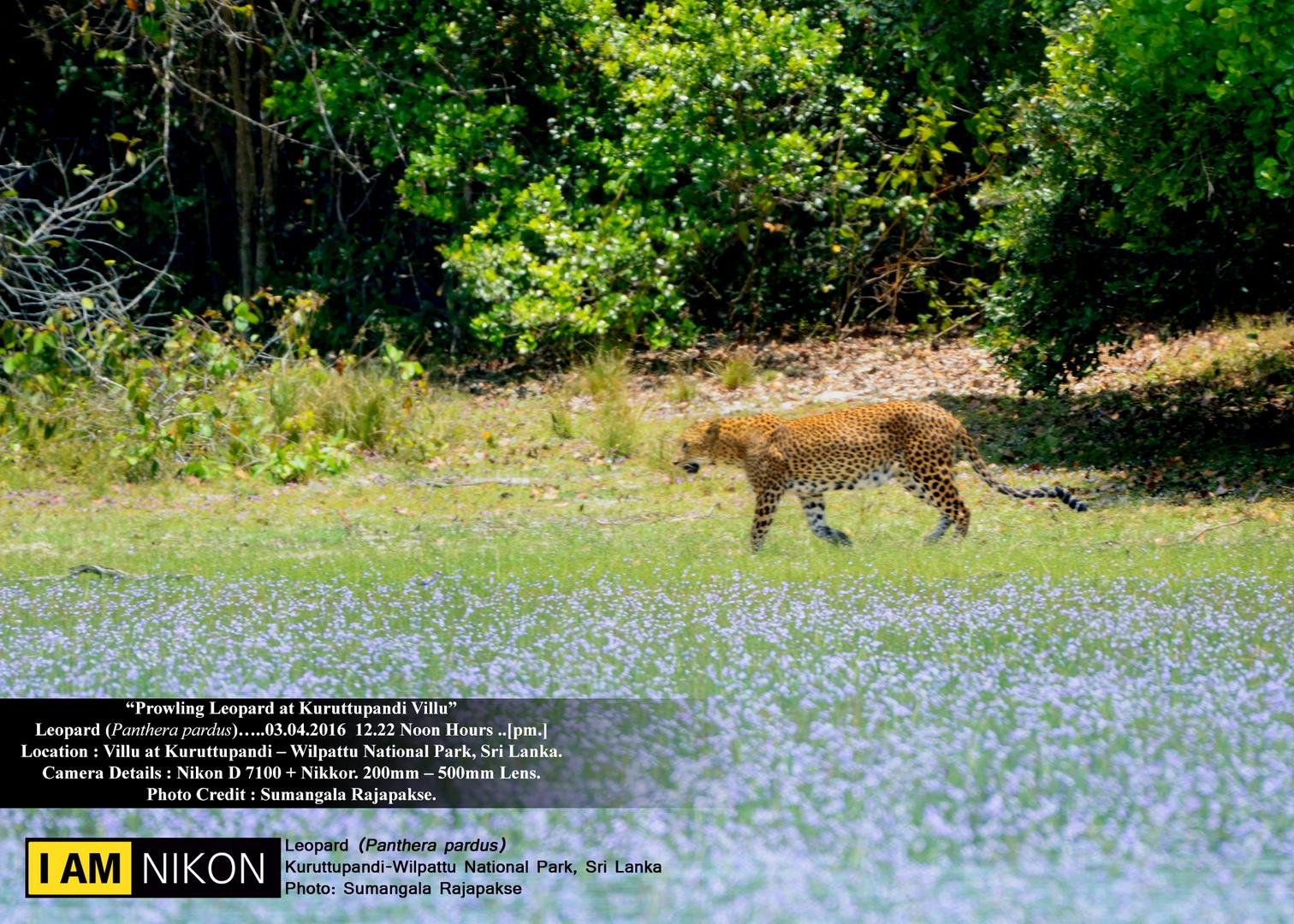 Prowling Leopard.