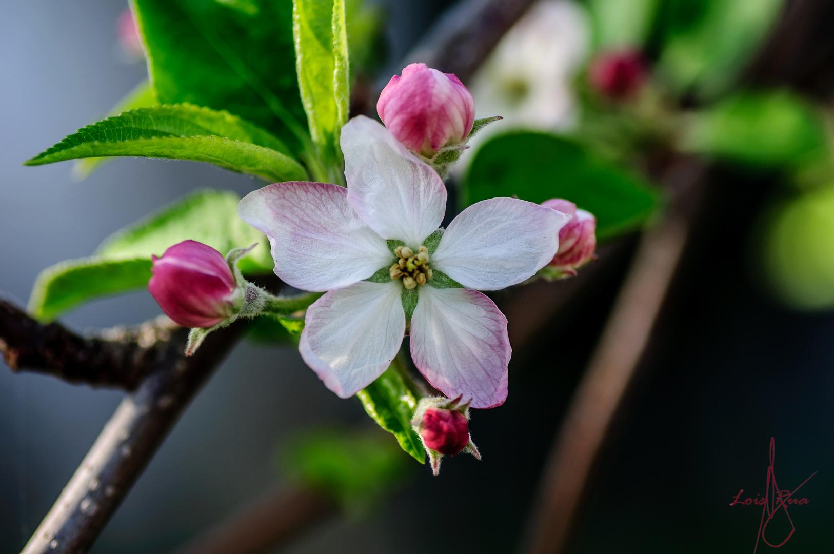 Proyecto de manzana