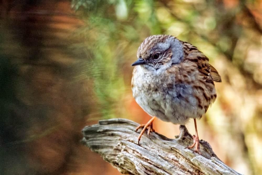 Prunella modularis - Jungvogel
