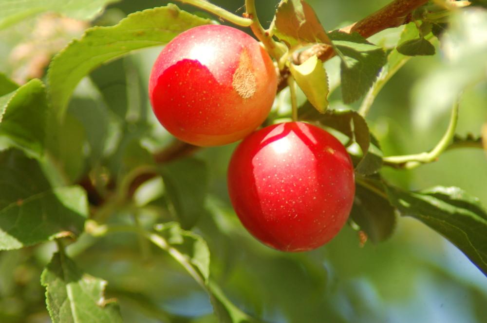 prunes sauvages