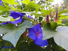 Prunkwinde (Ipomoea purpurea)