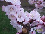 Prunus armeniaca's flowers