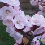 Prunus armeniaca's flowers