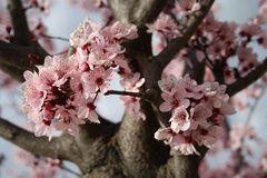 Prunus cerasifera Nigra 01