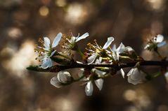 Prunusblüte in der Rheinaue
