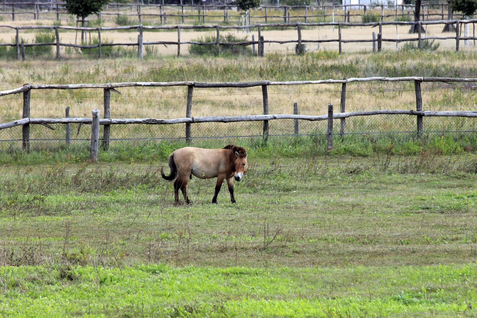 Przewalski-Pferd (Wildpferd)