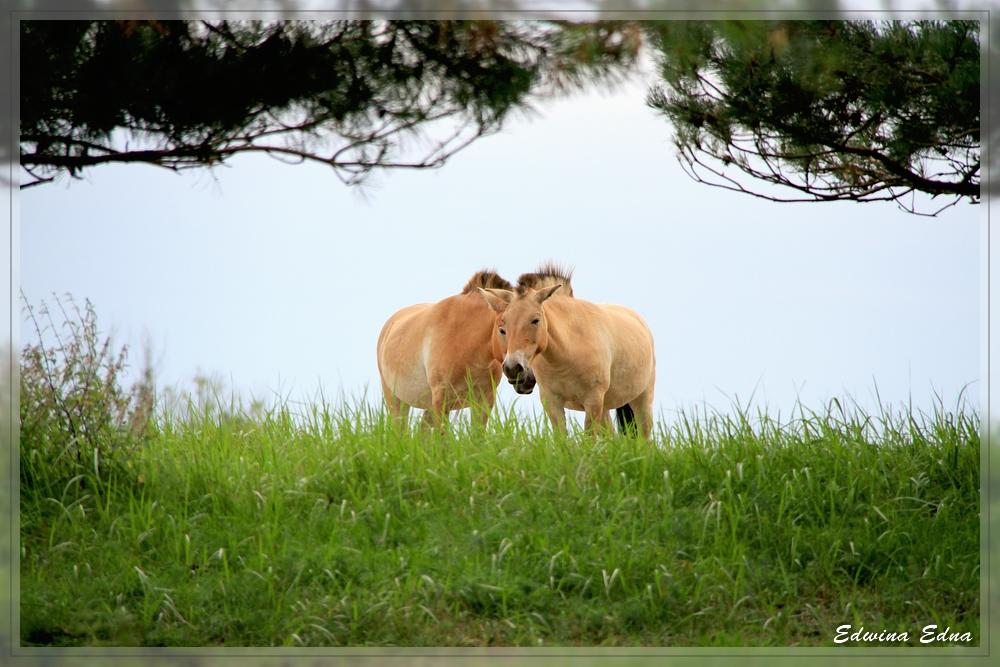 Przewalski-Pferdchen am Abend