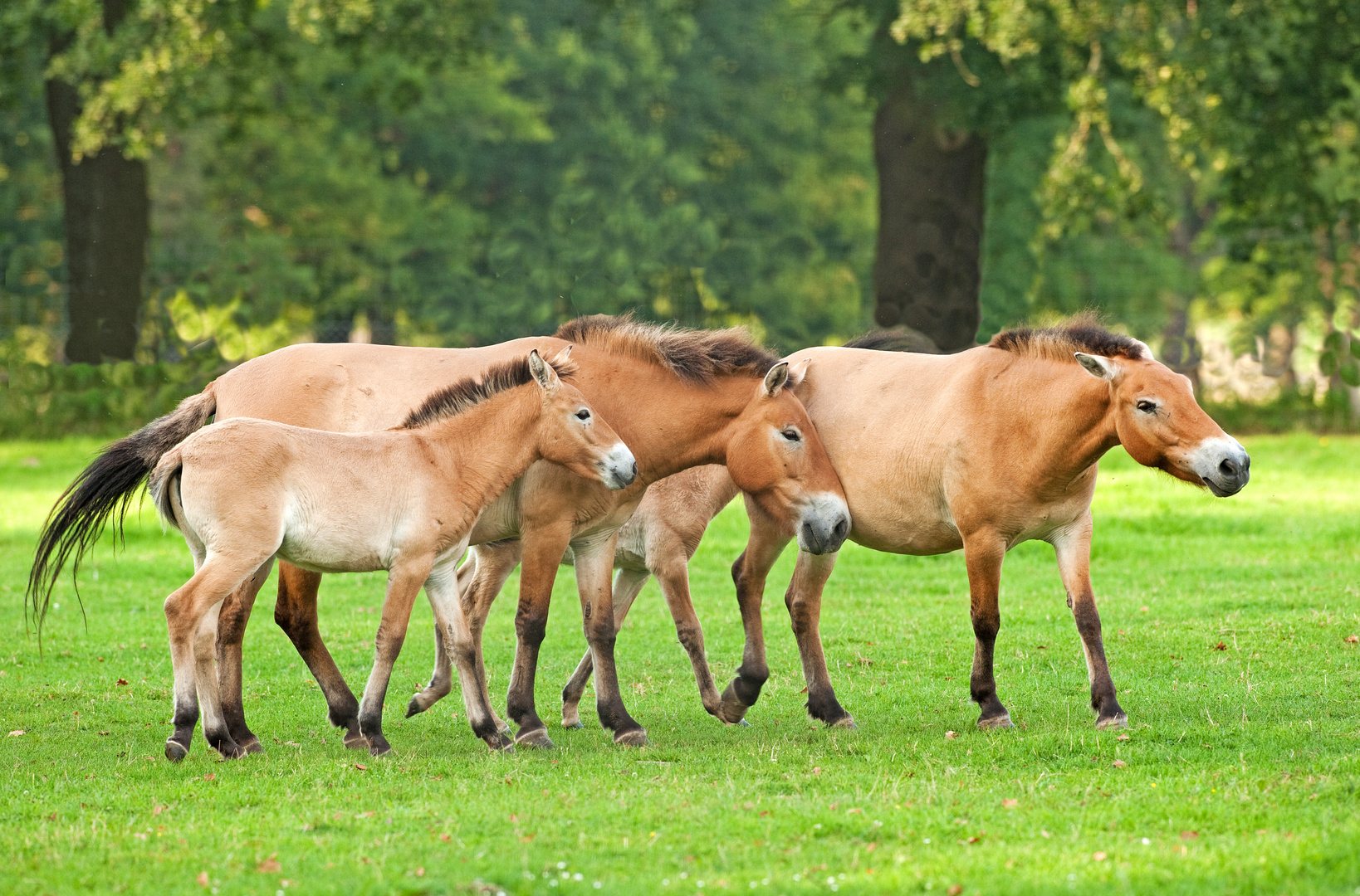 Przewalski-Pferde 2