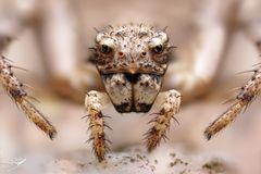 Psammitis sabulosus Weibchen