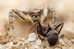 Psammitis sabulosus Weibchen mit Beute