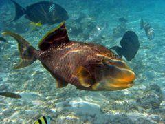 Pseudobalistes flavimarginatus - Gelbsaumdrückerfisch