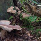 Pseudohydnum gelatinosum