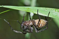 Pst..! sie schläft. - L'araignée dort après une nuit pluvieuse.  Photo 1
