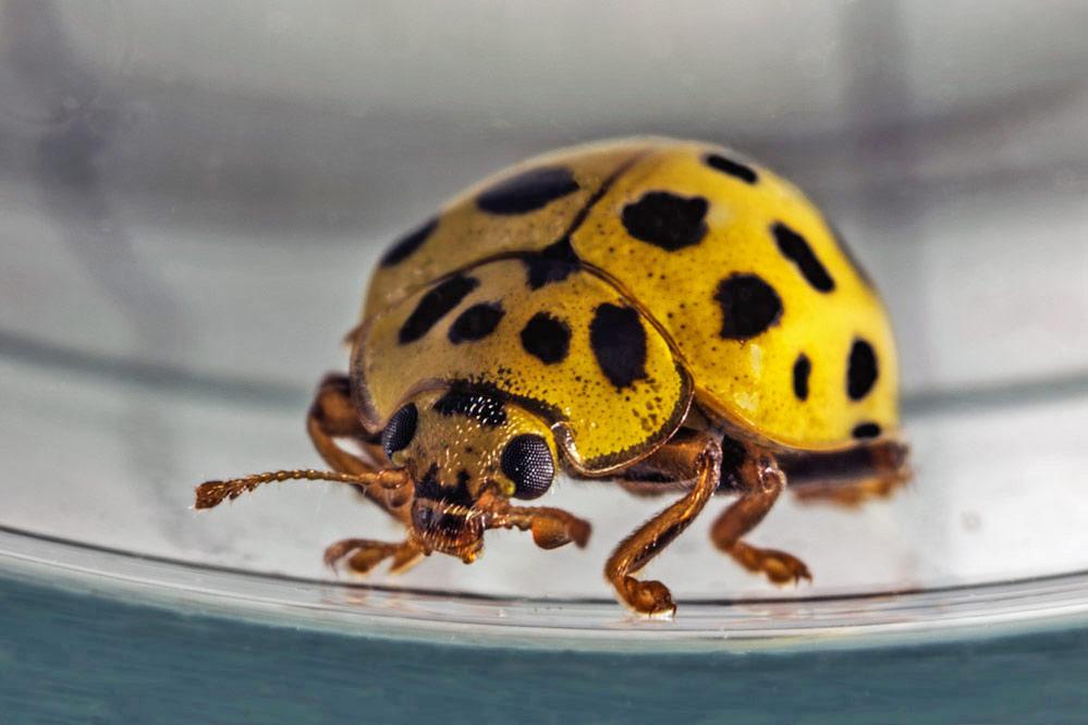 Psyllobora vigintiduopunctata