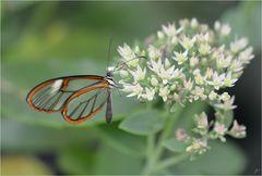 Pteronymia artena
