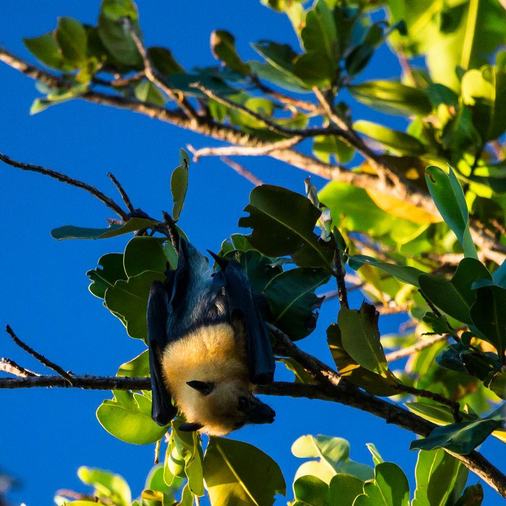 pteropodini alias flying fox