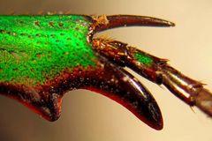 Ptychodesthes bicostata - Detail vom vorderen Bein