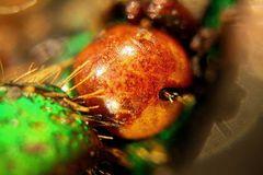 Ptychodesthes bicostata - Kopfdetail - Auge