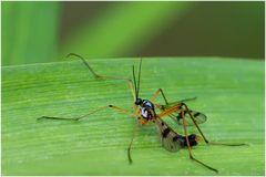 Ptychoptère souillée (Ptychoptera contaminata)