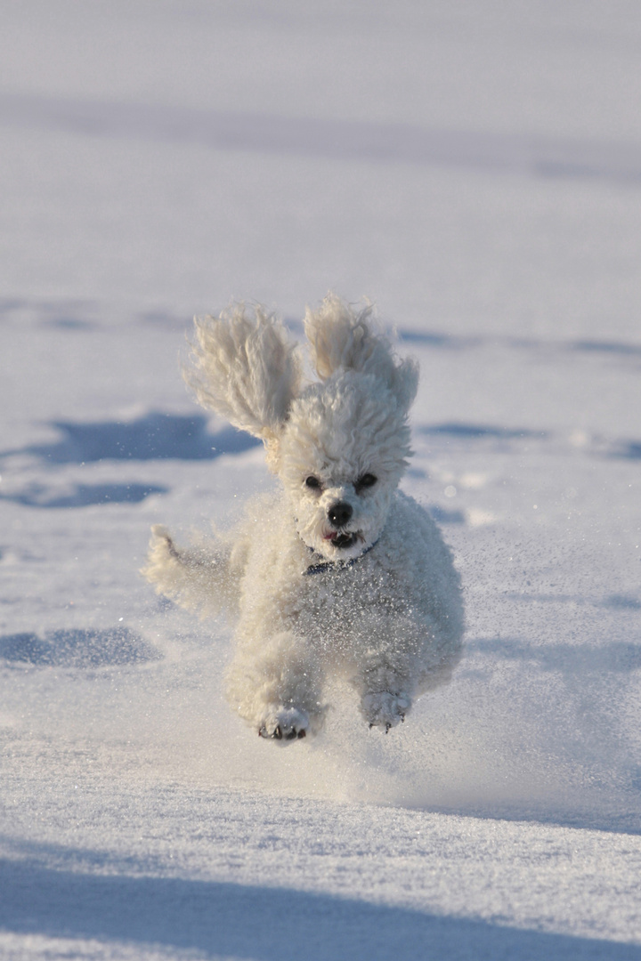 Pudel im Schnee