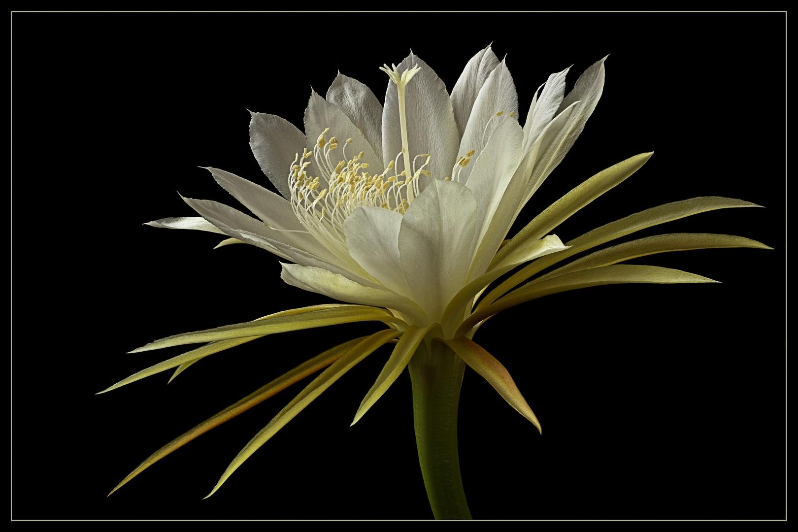 Pünktlich im Juli erfreut uns jedes Jahr der Kaktus mit solch wundervollen Blüten