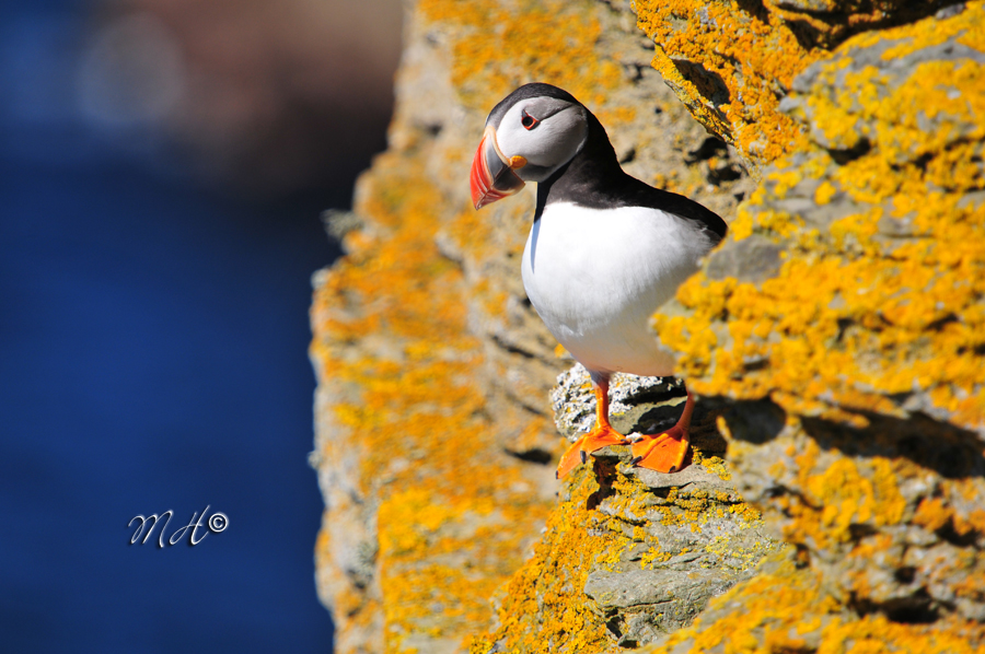 Puffin @ Westray