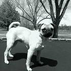 Pug on trampoline
