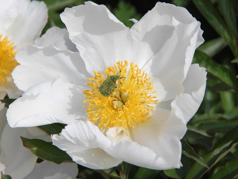 Puh der ganze Blütenstaub