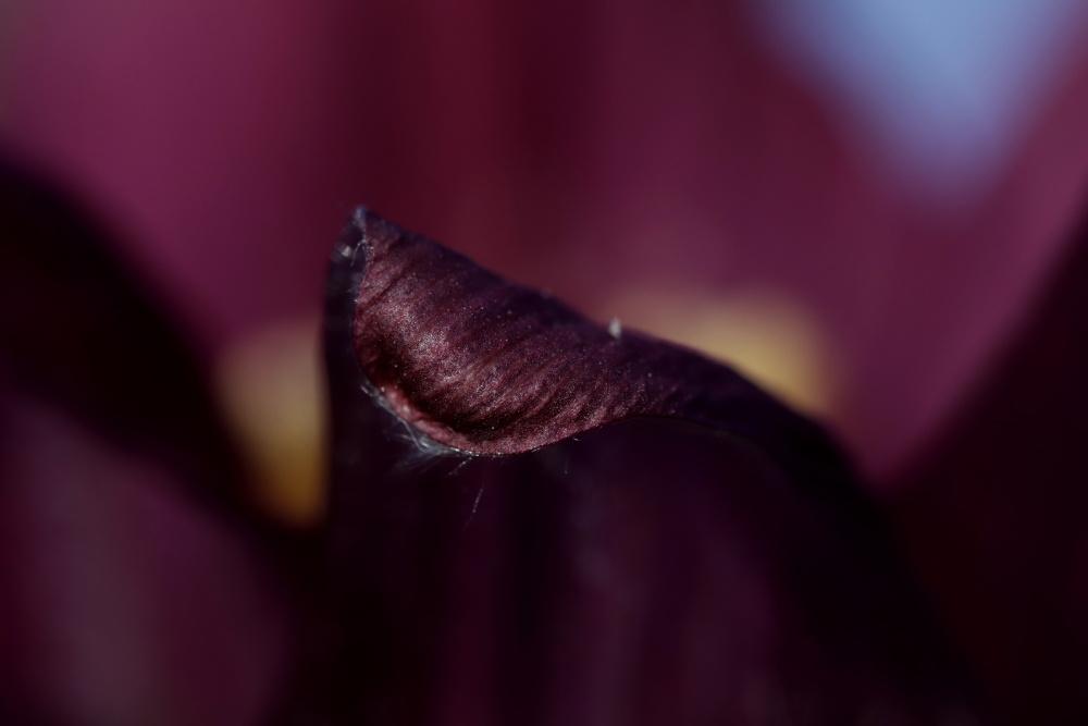 Pulsatilla (pasque flower)