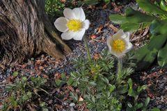Pulsatilla vernalis-Frühlingsanemonel