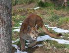 Puma bei Fütterung