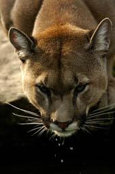 Puma - Berglöwe 2