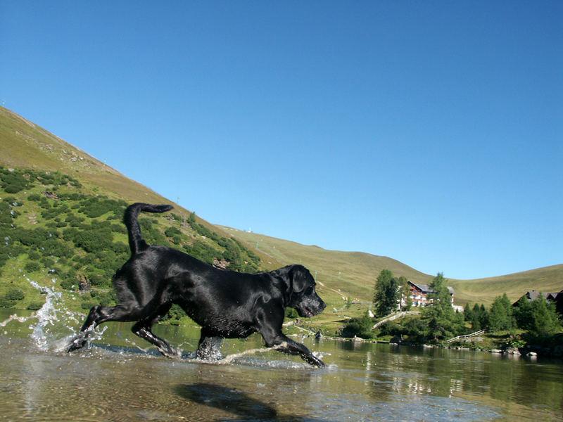 Puma - Der Labrador beim stolzieren durch den Falkertsee